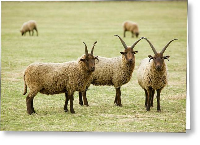 Soay Sheep In Leicestershire Uk Greeting Card by Ashley Cooper
