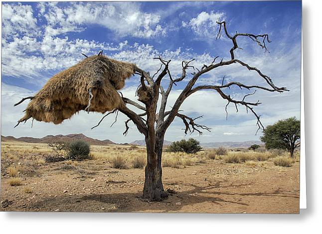 Sociable Weaver Nest Namib Desert Greeting Card