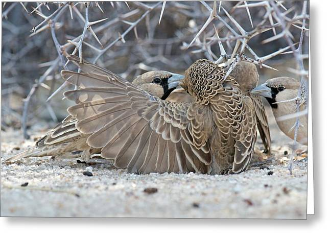 Sociable Weavers Fighting Over Food Greeting Card by Tony Camacho