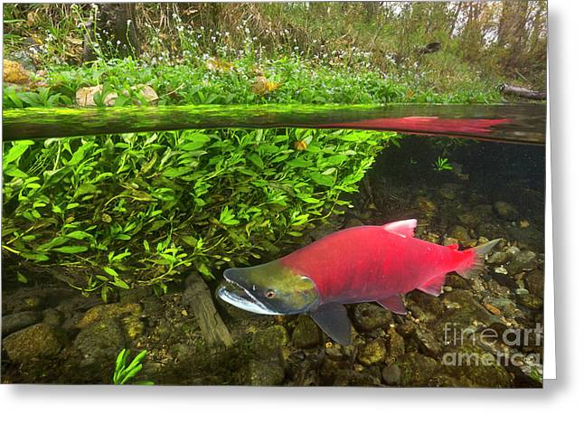 Sockeye Salmon Migrating Greeting Card by Yva Momatiuk John Eastcott