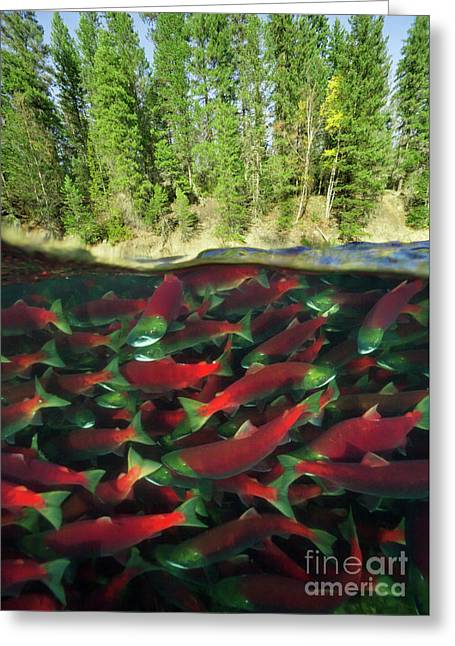 Sockeye Salmon Run Greeting Card