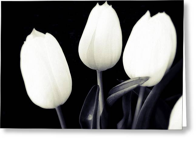 Soft And Bright White Tulips Black Background Greeting Card by Matthias Hauser