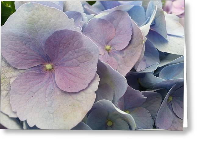 Greeting Card featuring the photograph Soft Hydrangea  by Caryl J Bohn