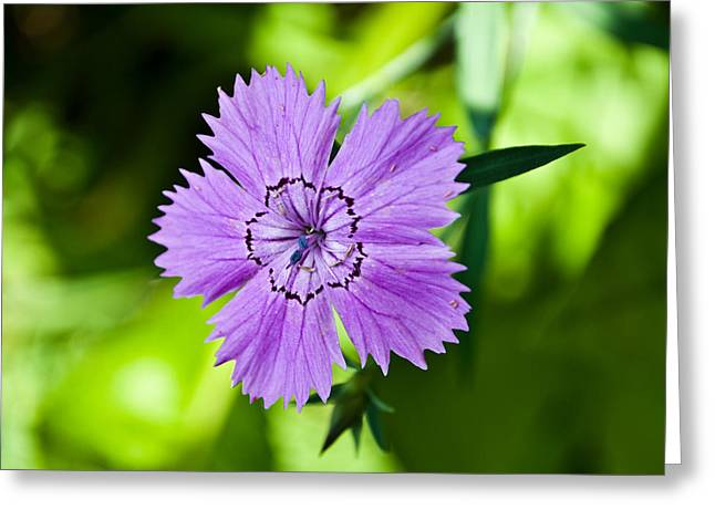 Soft Lavender Pla 456 Greeting Card