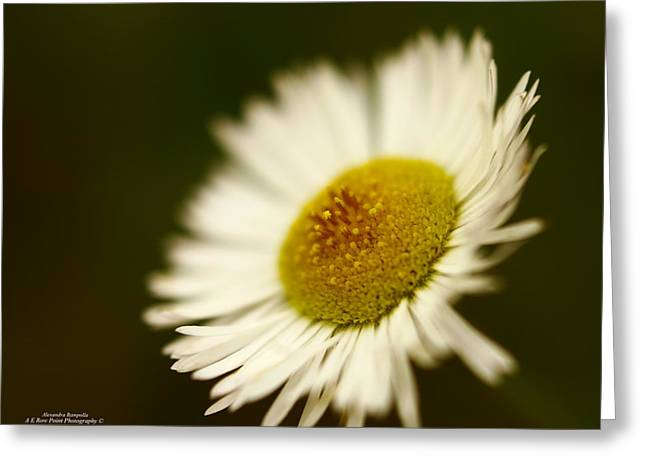 Soft Lighted Daisy Greeting Card by Alexandra  Rampolla
