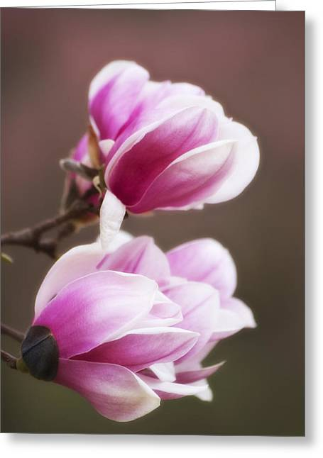Soft Magnolia Blossoms Greeting Card