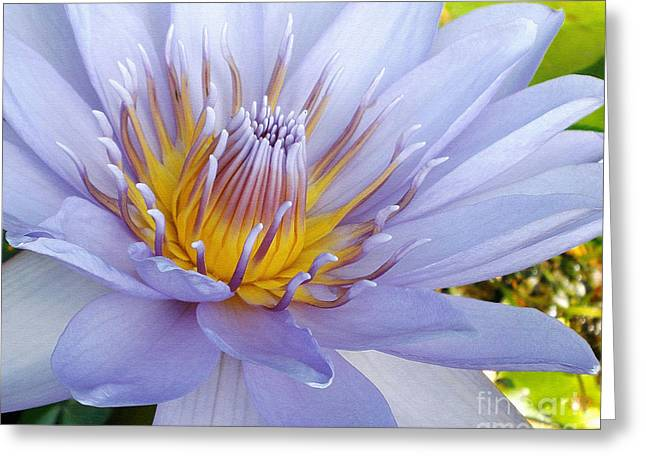 Soft Mauve Waterlily Greeting Card by Kaye Menner
