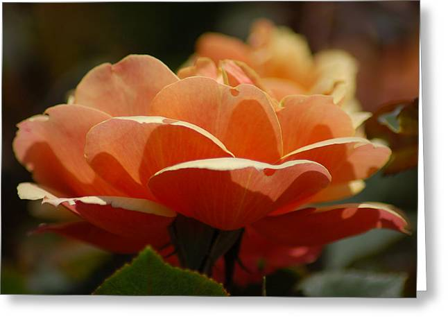 Soft Orange Flower Greeting Card by Matt Harang