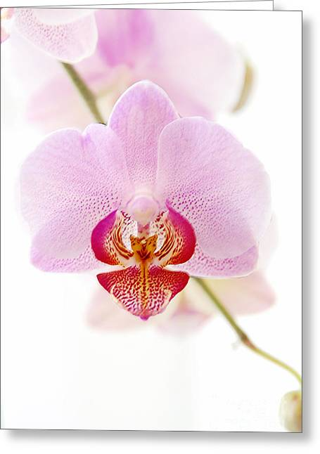 Soft Orchid Greeting Card by Hannes Cmarits