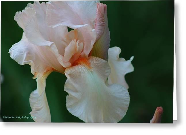 Soft Peach Iris Greeting Card