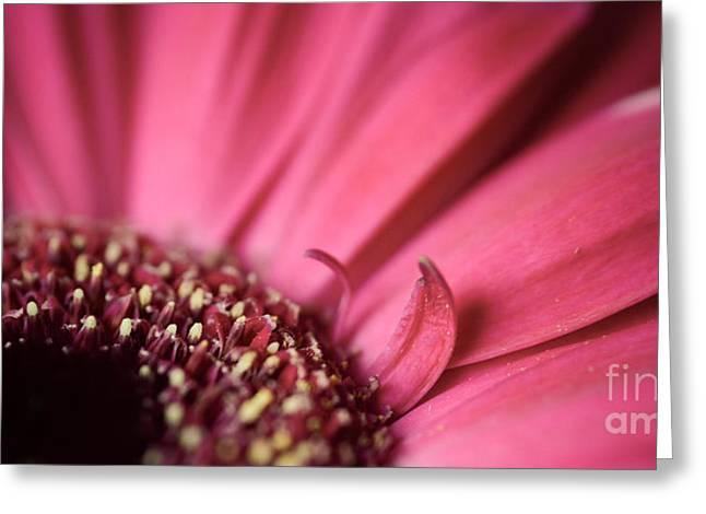 Soft Pink Gerbera Blossom Greeting Card
