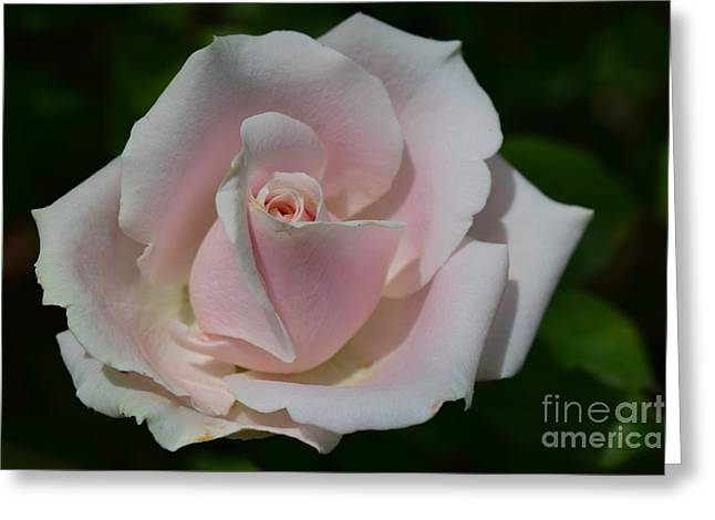 Greeting Card featuring the photograph Soft Pink Rose by Jeannie Rhode