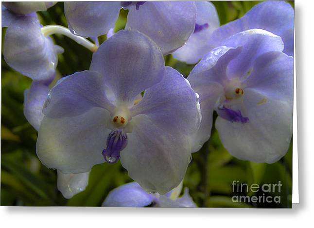 Soft Purple Orchids Greeting Card