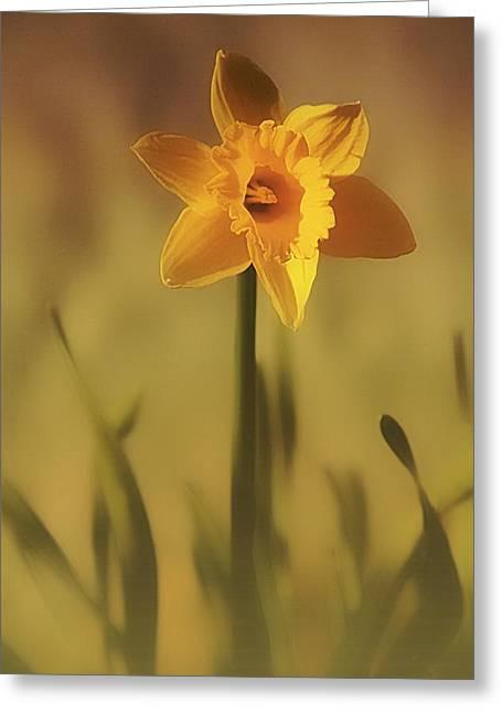 Soft Spring Daffodil Greeting Card by Anne Macdonald