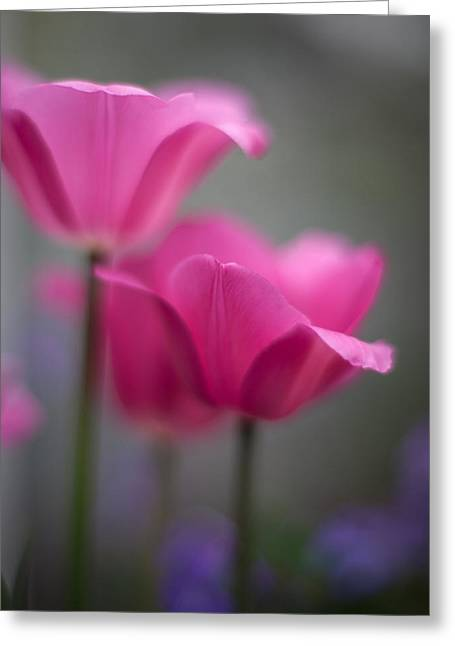 Soft Tulip Twilight Greeting Card by Mike Reid