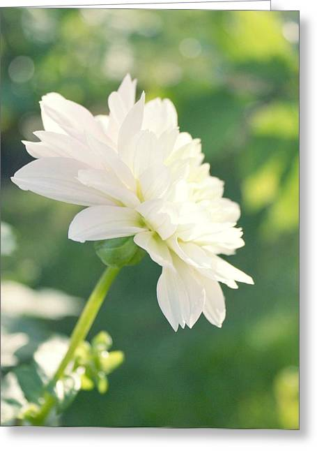 Soft White Dahlias Greeting Card by Cathie Tyler