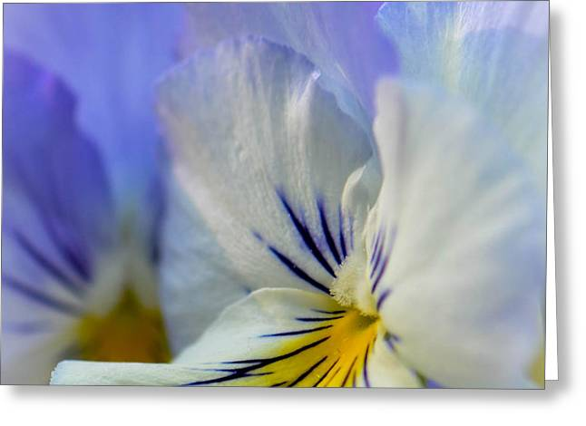 Soft White Pansy Greeting Card by Amy Porter
