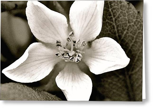 Soft White Petals Greeting Card