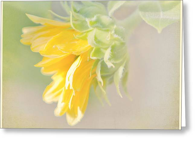 Soft Yellow Sunflower Just Starting To Bloom Greeting Card