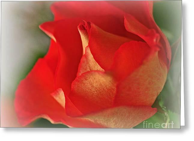 Soften Rose Greeting Card