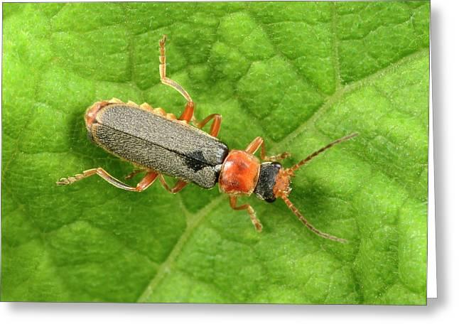 Soldier Beetle Greeting Card by Nigel Downer