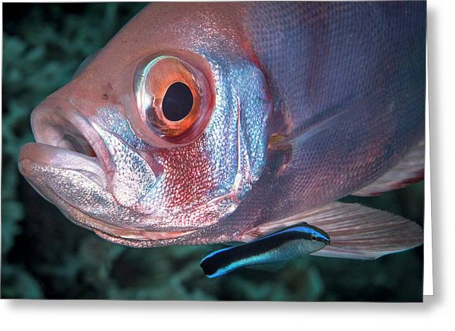 Soldierfish Being Cleaned By A Cleaner Greeting Card