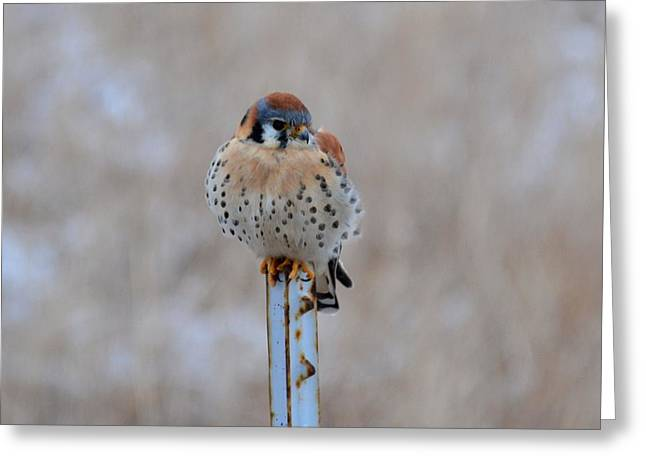 Solitaire Kestrel Greeting Card