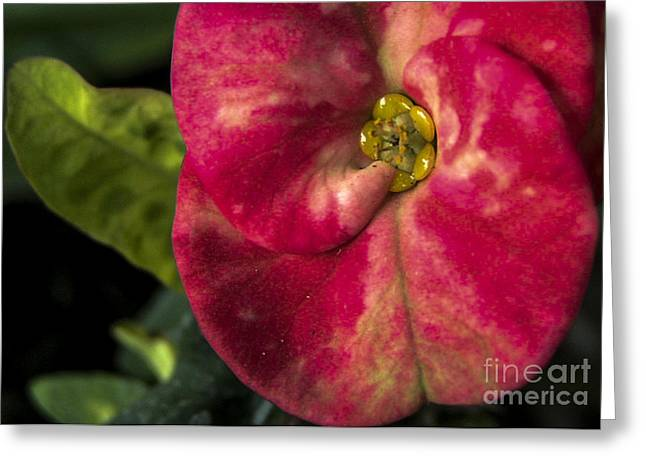 Solitary Beauty Greeting Card