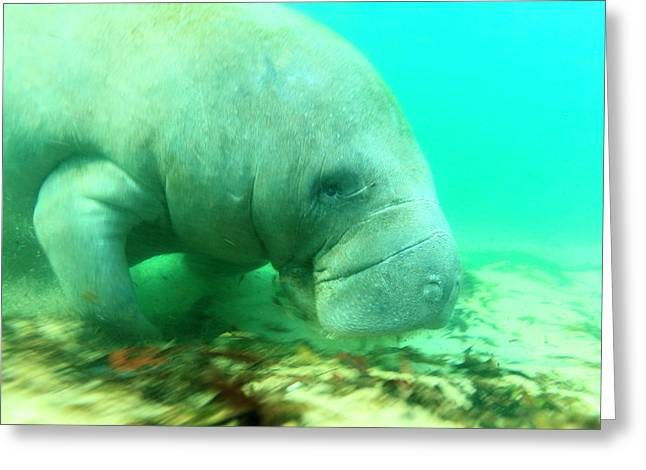 Solitary Manatee Swimming In The Weeki Greeting Card by James White