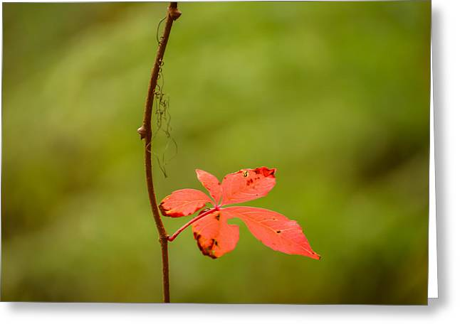 Solitary Red Leaf Greeting Card