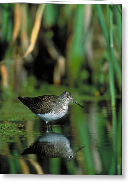 Solitary Sandpiper Greeting Card by Paul J. Fusco