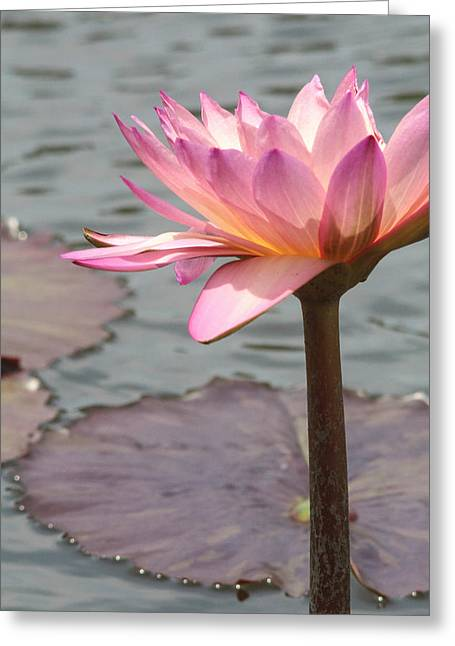 Solo Waterlily Greeting Card