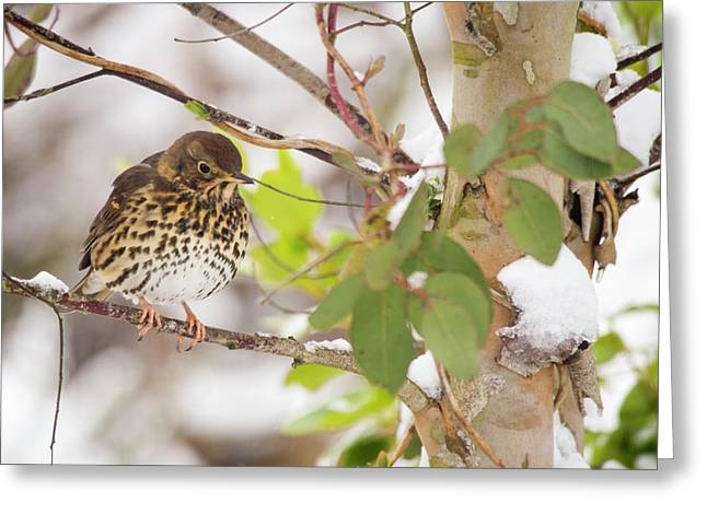 Song Thrush (turdus Philomelos) Greeting Card by Ashley Cooper