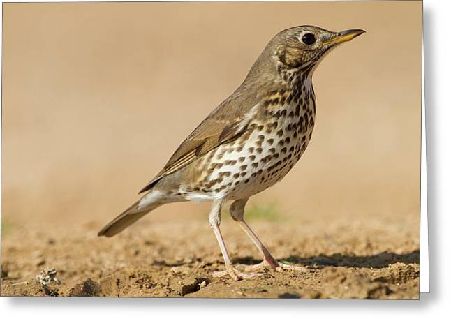 Song Thrush (turdus Philomelos) Greeting Card