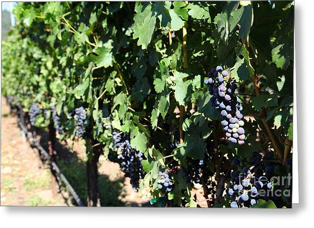 Sonoma Vineyards In The Sonoma California Wine Country 5d24627 Greeting Card by Wingsdomain Art and Photography