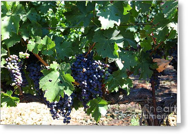 Sonoma Vineyards In The Sonoma California Wine Country 5d24631 Greeting Card by Wingsdomain Art and Photography