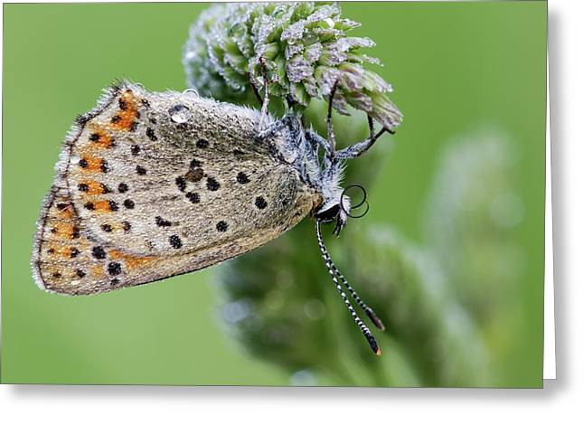 Sooty Copper Butterfly Greeting Card by Heath Mcdonald