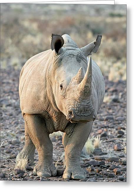 Sothern White Rhinoceros Greeting Card by Tony Camacho