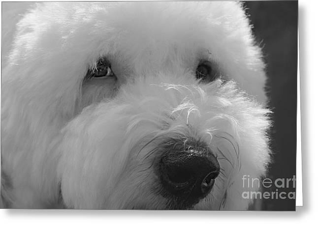 Soulful Eye's Old English Sheep Dog Greeting Card