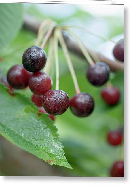 Sour Cherries On Branch Greeting Card