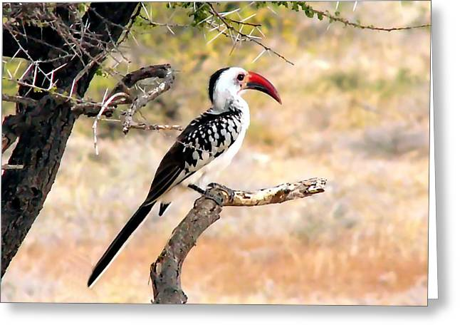South African Hornbill Greeting Card