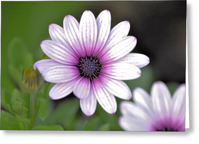 South African Sailor Boy Daisy Greeting Card by Dave Woodbridge