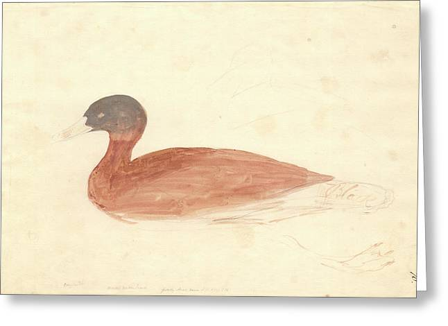 South African Shelduck Greeting Card by Natural History Museum, London