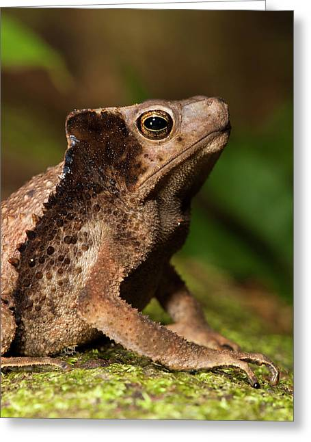 South American Crested Toad (rhinella Greeting Card by Pete Oxford