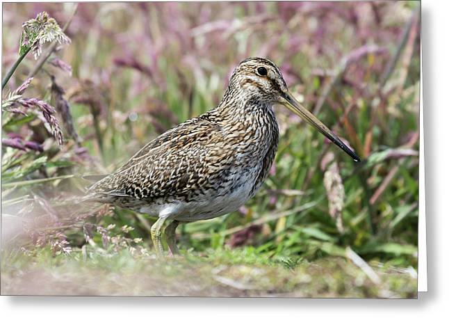South American Snipe Or Magellan Snipe Greeting Card by Martin Zwick