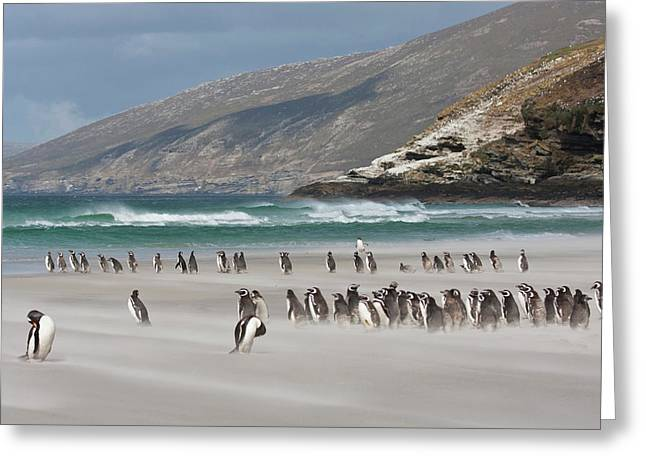 South Atlantic, Falkland Islands Greeting Card by Jaynes Gallery