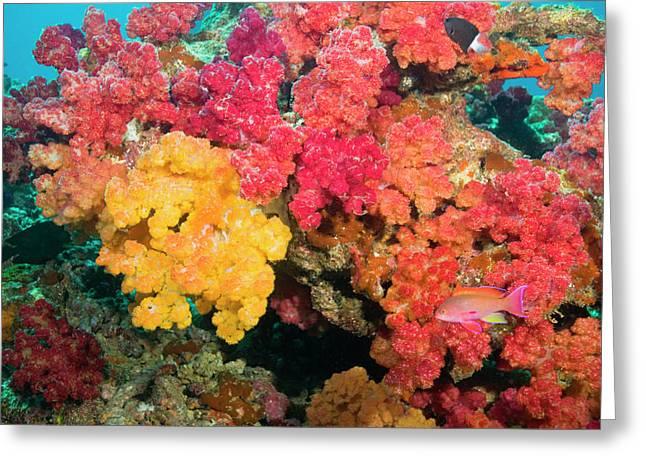 South Pacific, Fiji, Rainbow Reef Greeting Card