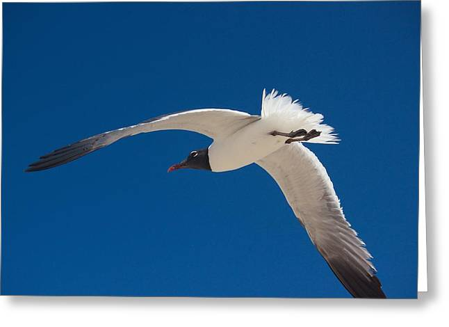 South Padre Seagull Greeting Card by Bonita Hensley