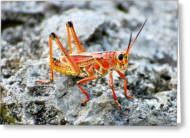 Southeastern Lubber Grasshopper Greeting Card by Rich Leighton