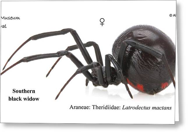 Southern Black Widow Greeting Card